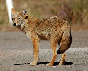 coyote-300x242