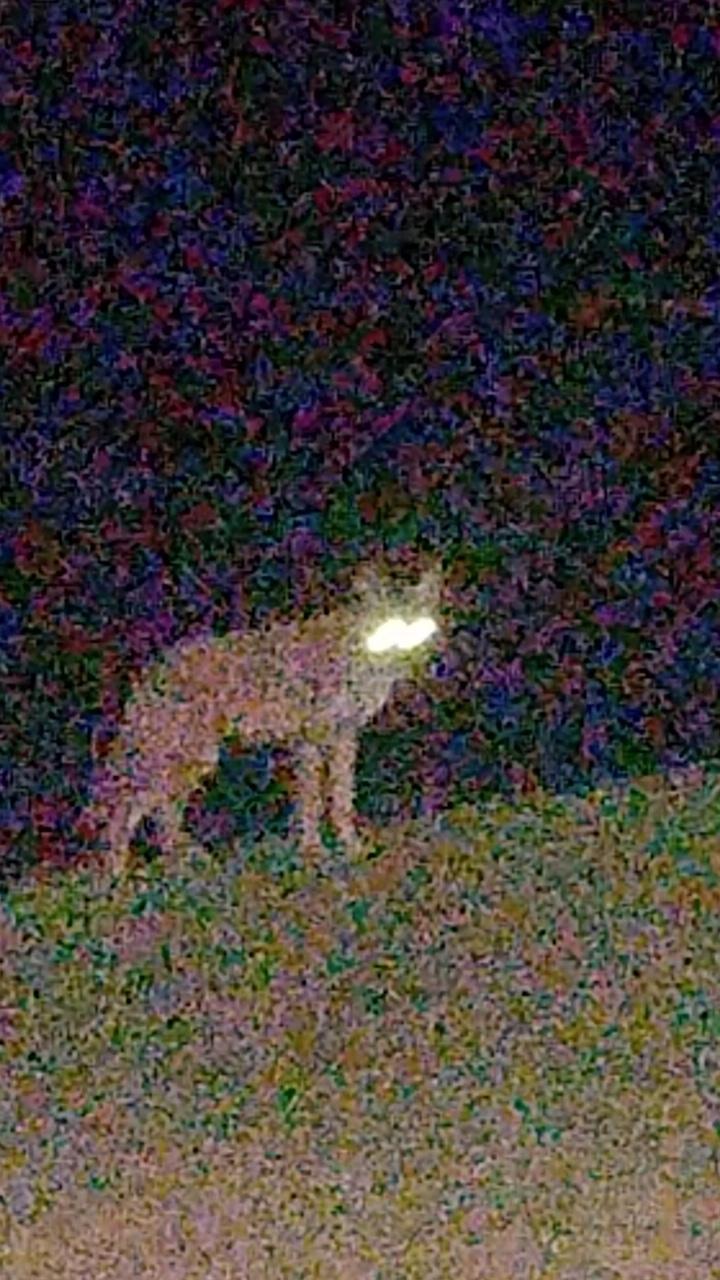 coyotesbypeggy